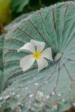 Flower on lotus leaf. Flower and water drop on lotus leaf Royalty Free Stock Image
