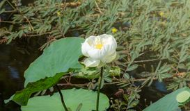 Flower, lotus,. Flower lotus nature summer green,plant blossom asian meditatio, aquatic teichplanze peace, floral zen petals, bloom pink pond White lotus royalty free stock images
