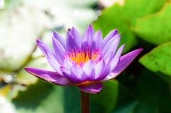 Flower, lotus, nature, summer, green, purple, violet. Flower lotus nature summer green,plant blossom asian meditatio, aquatic teichplanze peace, floral zen royalty free stock photo