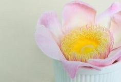 Flower lotus paradise Gustavia closeup. Pink flower lotus paradise Gustavia blossom closeup Royalty Free Stock Images