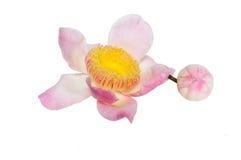 Flower lotus paradise Gustavia isolated. Pink flower lotus paradise Gustavia blossom isolated Stock Image
