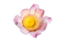 Flower lotus paradise Gustavia isolated. Pink flower lotus paradise Gustavia blossom isolated Royalty Free Stock Image