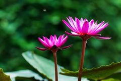 Flower Lotus pink. On green blurred background royalty free stock image