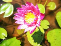 Flower. Lotus Pink Color Stock Image