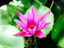 Flower. Lotus pink green beautiful Stock Images