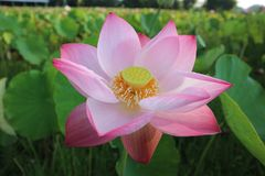 Flower, Lotus, Plant, Sacred Lotus stock photos
