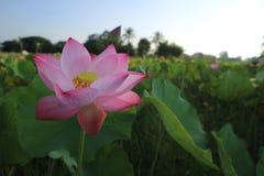 Flower, Lotus, Sacred Lotus, Plant