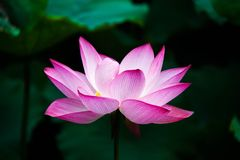 Flower, Lotus, Sacred Lotus, Plant royalty free stock photos