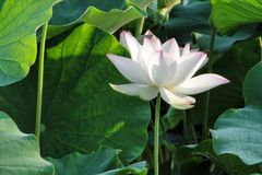 Flower, Lotus, Summer Stock Photos