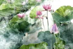 Flower, Lotus, Summer, Cool, Misty Stock Images
