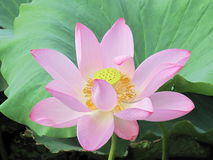 Flower. The lotus, a symbol of beauty, atmosphere, full of vitality, upgrade, warm pink and green symbol of life, is the symbol of the whole summer Royalty Free Stock Photos