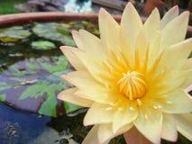 Yellow flower lotus. Flower lotus in the water at backyard royalty free stock photos