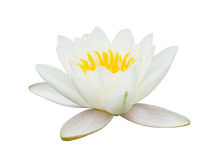 Flower of lotus, water lily. White flower of lotus, water lily, is opened, isolated on white background, side view stock images