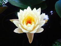 Flower. Lotus yellow white beautiful Royalty Free Stock Photo
