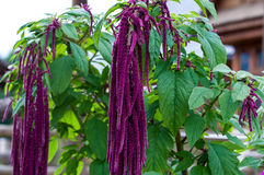 Flower love-lies-bleeding Royalty Free Stock Images