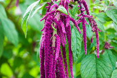 Flower love-lies-bleeding. Is used to treat many serious diseases Stock Photo