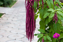 Flower love-lies-bleeding Royalty Free Stock Image