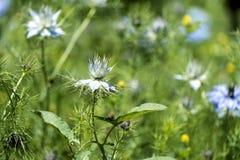 Flower of Love-in-a-mist. Nigella damascena stock photography