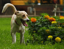 Flower Lover Dog Stock Photo