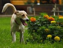 Flower Lover Dog. Dog near the flower bush Stock Photo