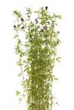 Flower lucerne Stock Photography