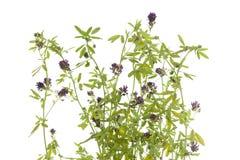 Flower lucerne. (Medicago sativa) on white background Royalty Free Stock Photography