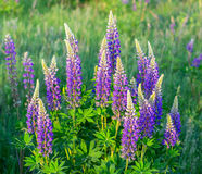Flower lupin grass Royalty Free Stock Image