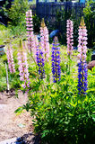 Flower Lupin. Image of the flower pink color Stock Images