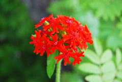 Flower Lychnis, bright red Royalty Free Stock Photography
