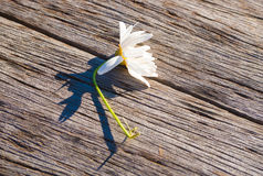 Flower lying diagonally on weathered wood. A daisy lies sideways on a piece of weathered timber Royalty Free Stock Photography