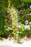 Flower of Macadamia nuts Royalty Free Stock Photos