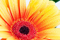 Flower in macro. Macro of a gerber daisy with water droplets on the petals Stock Photo
