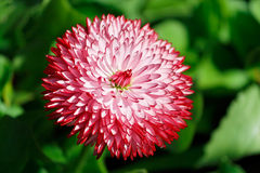 Flower Macro. Close-up of a small red flower with a green background royalty free stock photo