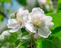Flower, macro. apple Royalty Free Stock Photo