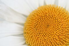 Flower macro daisy closup. Flower macro closeup gives a good background abstract for flower and nature lovers Stock Photography