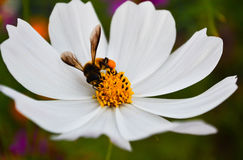 Flower. Macro of honey bee (Apis) feeding on white anthemis flower Royalty Free Stock Photos
