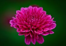 Flower in the rain. Flower macro photo Stock Images