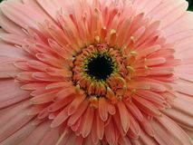 Pink daisy flower macro Royalty Free Stock Photo