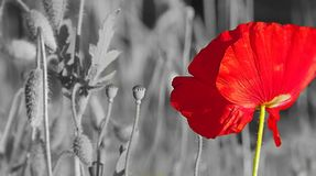 Flower macro, poppy flowers. Royalty Free Stock Photos