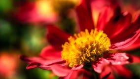 Flower macro. Macro shot of a big red yellow flower Royalty Free Stock Image