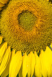 Flower macro, sunflower colorful flower Royalty Free Stock Images