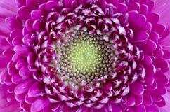 Gerbera. This flower is a magenta gerbera Stock Images