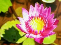 Flower. Magical Lotus Flower Royalty Free Stock Photography
