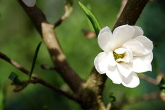 Flower of magnolia Stock Photo