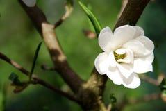 Flower of magnolia Stock Photo