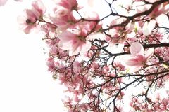 Flower magnolia Royalty Free Stock Photography