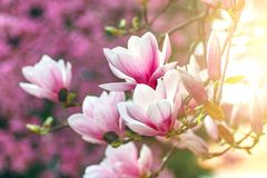 Flower Magnolia flowering against a background of flowers. Spring foto Stock Photo