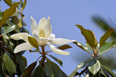 Flower of Magnolia grandiflora Royalty Free Stock Photography