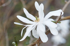 Flower of Magnolia Stellata Royalty Free Stock Image