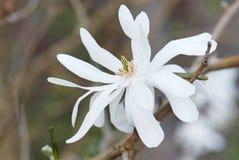 Flower of Magnolia Stellata. Close up flower of Magnolia Stellata Royalty Free Stock Image
